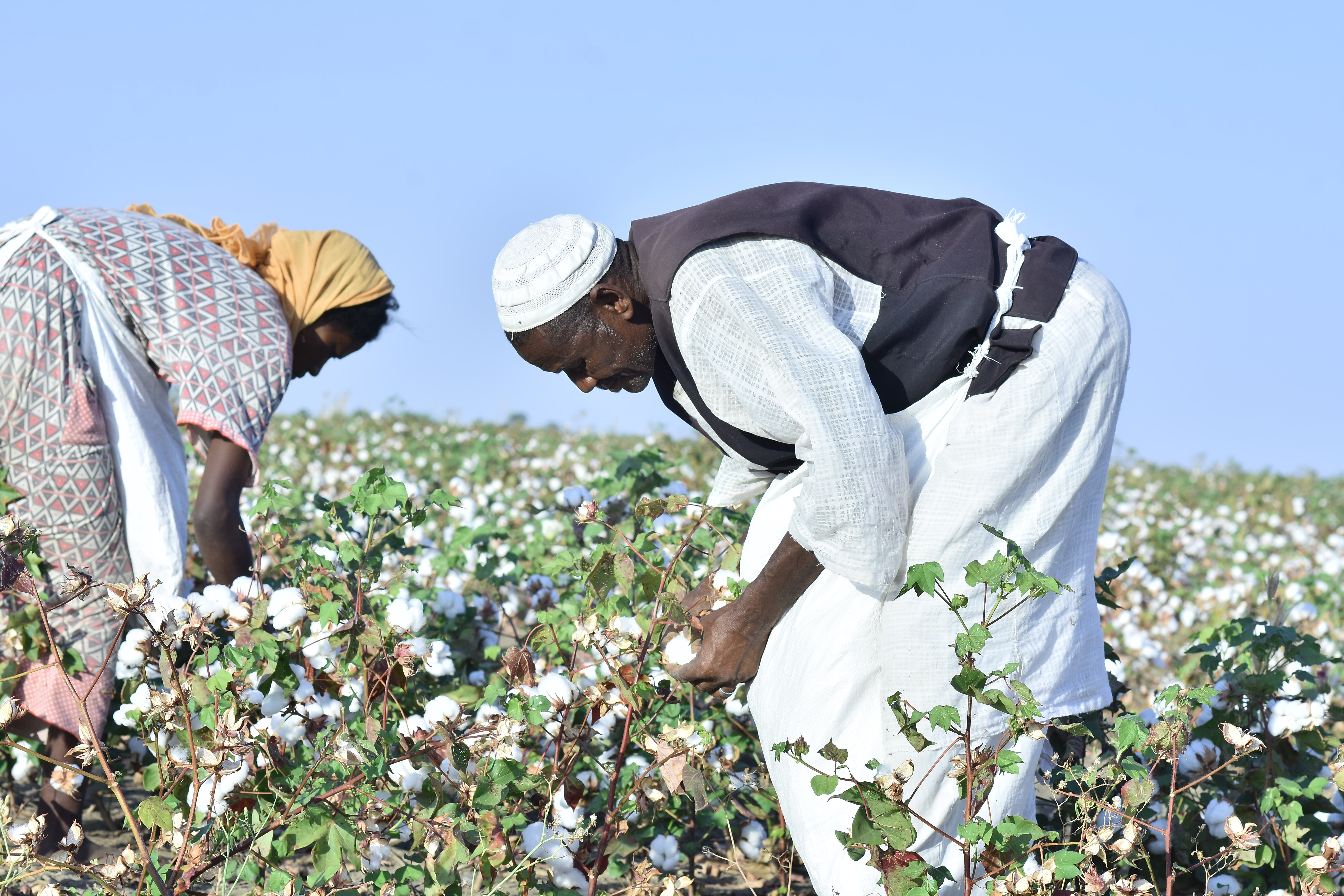karkoug Agricultural Project – Cotton Harvesting